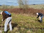 Planing Nelson's Checkermallow rhizomes at Jackson Frazier Wetland Prairie