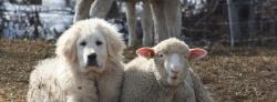 Livestock guardian dog and sheep