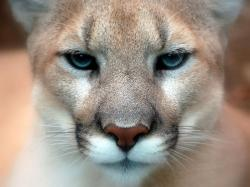 Close-up of brown cougar face