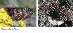 Taylor's Checkerspot Butterfly