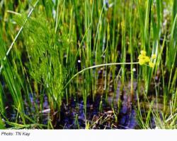 Bradshaw's Lomatium Plant