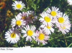 Willamette Daisy