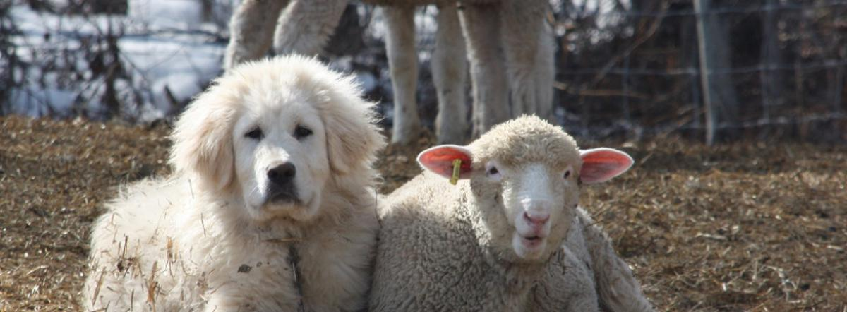 Dog and Sheep Banner